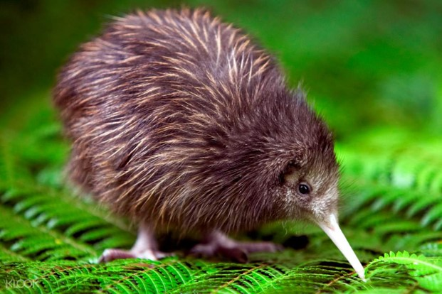 Kiwi Encounter Tour at Rainbow Springs Nature Park